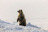Grizzly bear stands up on the snow covered tundra, Arctic coastal plains, Alaska