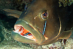 Red Grouper being cleaned by Neon Goby