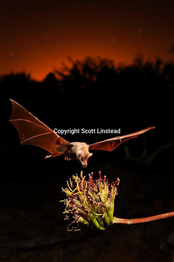 a nectar bat feeding from an agave flower