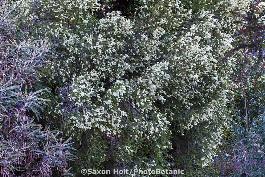 Melaluca diosmifolia, Green honey-myrtle, Australian shrub at Leaning Pine Arboretum, California garden