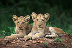 Lion cubs, Panthera leo, Kruger National Park Mpumalanga, South Africa