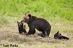 Grizzly bear sow and young cubs feeding on bison carcass. Yellowstone National Park, Wyoming.