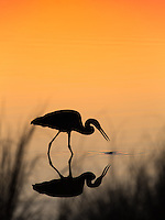 A blue heron searches for food in the shallow back waters of Gulf Shores, Alabama.