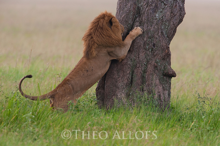 Tanzania, Serengeti, male lion trying to climb tree