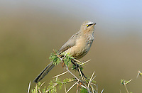 Large Grey Babbler - Turdoides malcolmi