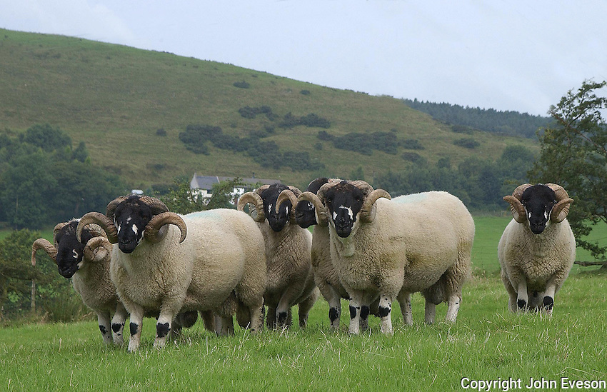 Deanclough pedigree Lonk stock rams with typical Lonk and Gritstone grazing land behind.