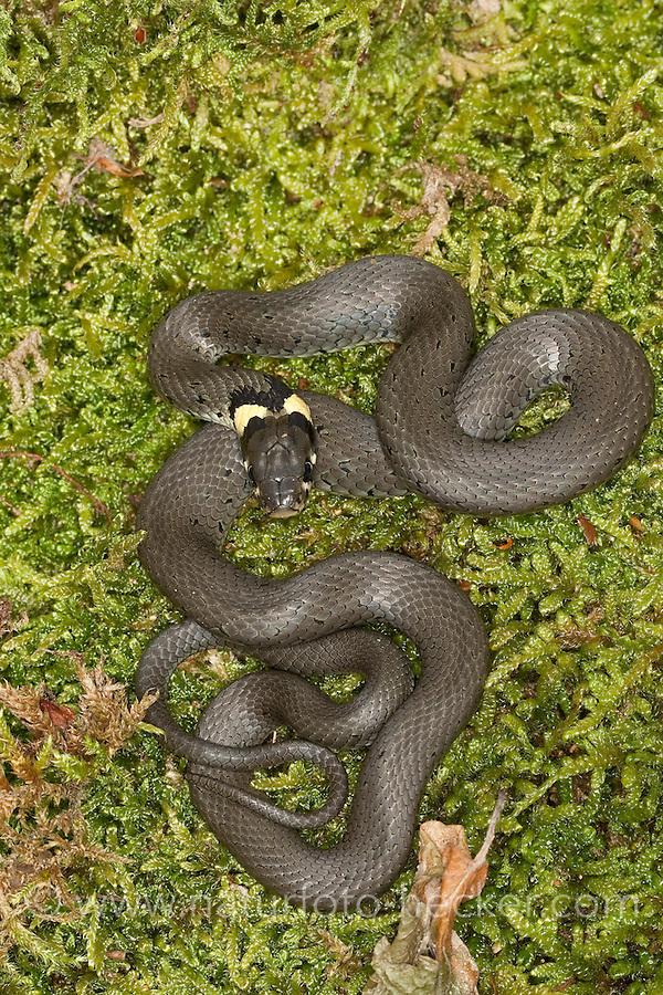 Ringelnatter, Ringel-Natter, Natter, Natrix natrix, grass snake, grass-snake