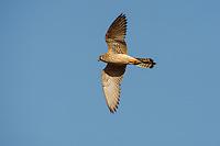 Lesser Kestrel - Falco naumanni