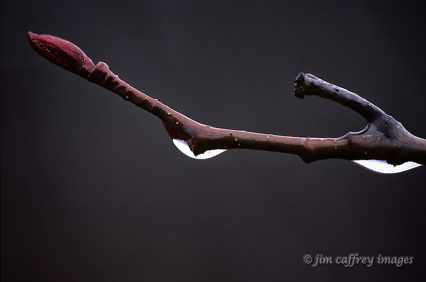 A close-up of a tree branch after a rain with water droplets clinging to the branch.
