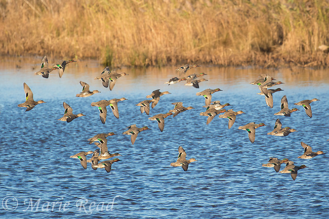 Green-winged Teal (Anas crecca) flock in flight, Cape May Meadows, New Jersey, USA
