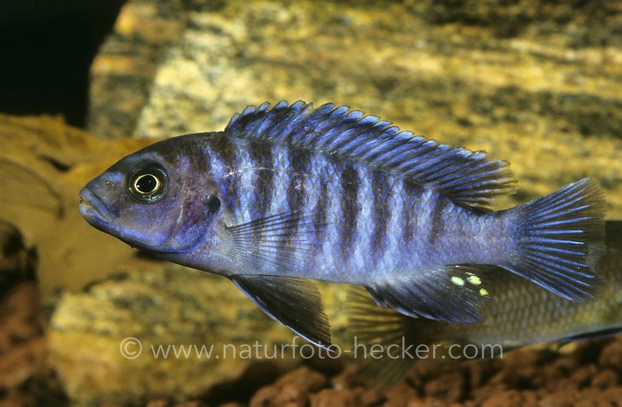 Blauer malawibuntbarsch naturfoto frank hecker for Malawi buntbarsch