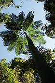 Fazenda Bauplatz, Brazil. Schizolobium sp. fern tree looking up the trunk to the canopy against a bluue sky.