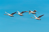 Mute swan (Cygnus olor), adults in flight, Flachsee, Aargau, Switzerland
