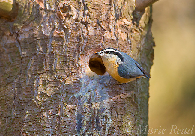 Red-breasted Nuthatch (Sitta canadensis) male excavating nest hole in a pine trunk, Ithaca, New York, USA