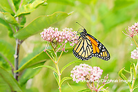 03536-06203 Monarch (Danaus plexippus) on Swamp Milkweed (Asclepias incarnata) Marion Co. IL