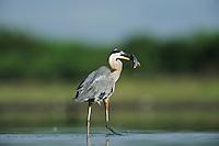 Great Blue Heron (Ardea herodias), adult with fish prey, Dinero, Lake Corpus Christi, South Texas, USA