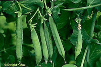 HS26-126a  Pea - shelling pea pods on vine - Green Arrow variety