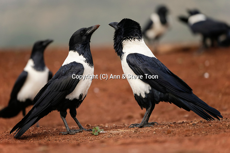 Pied crows (Corvus albus) courtship display, Zimanga private game reserve, KwaZulu-Natal, South Africa, May 2017