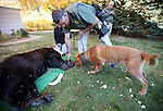 Carson City Sheriff's Deputy Dan Ochsenschalger lets his K9 Teddy check out an adult male bear caught in a downtown backyard in Carson City, Nev., on Tuesday, Oct. 22, 2013.<br /> Photo by Cathleen Allison