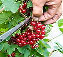 "Picking redcurrants (early July). It's easier to cut entire trusses (""strigs"") than to try and pick individual berries."