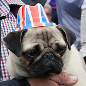The Royal Wedding of HRH Prince William to Kate Middleton. Darcy, a pug from Cambridge.