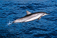 spinner dolphin, Stenella longirostris, leaping, Hawaii, Pacific Ocean