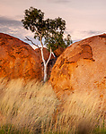 Ghost gum (Corymbia aparrerinja), Karlu Karlu / Devils Marbles Conservation Reserve, Northern Territory, Australia<br />