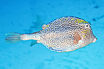 Acanthostracion polygonius, Honeycomb cowfish, Cozumel, Mexico