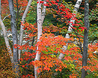 Birch tree trunks and Maple trees in fall color; White Mountain National Forest, NH