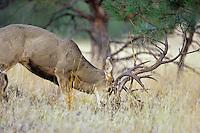Mule Deer (Odocoileus hemionus) polishing antlers or sparring with small tree.  Fall.