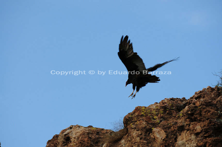 Superior, Arizona (September 21, 2014)  --  A turkey vulture flies from one spot to another on the cliff where other turkey vultures are. As September 20 brings the Autumn Equinox, marking the end of the summer, a flock of turkey vultures that make the Boyce Thompson Arboretum in Superior, Arizona their home from March to September each year, are about to begin their annual migration. Photo by Eduardo Barraza © 2014