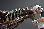 """June 21th, 2011, Tokyo, Japan - A worker goes through the final check of the assembled skeletal model of the Tyrannosaurus at the National Science Museum in Tokyo on Tuesday, June 21, 2011.The Tyrannosaurusthe greatest carnivorous dinosaur inhabiting the North American Continent about 70 million to 65 million years agowill face the Triceratops in the special exhibition """"Dinosaurs Expo 2011"""" at the museum in July. (Photo by Natsuki Sakai/AFLO)"""