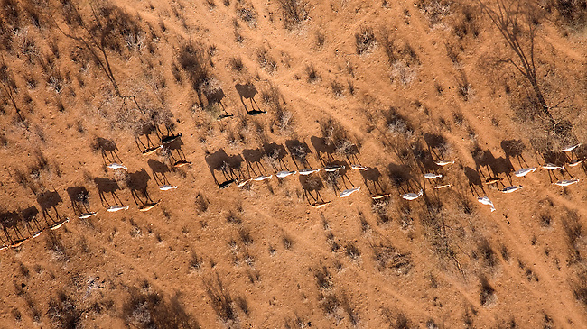 ..Samburu livestock (and shadows), as seen from the air,illegally entering Samburu National Park searching for food and water. . The worst drought (2008-2009) in more than a decade has killed most of the Samburu tribeman's livestock and threatens their own survival. ..