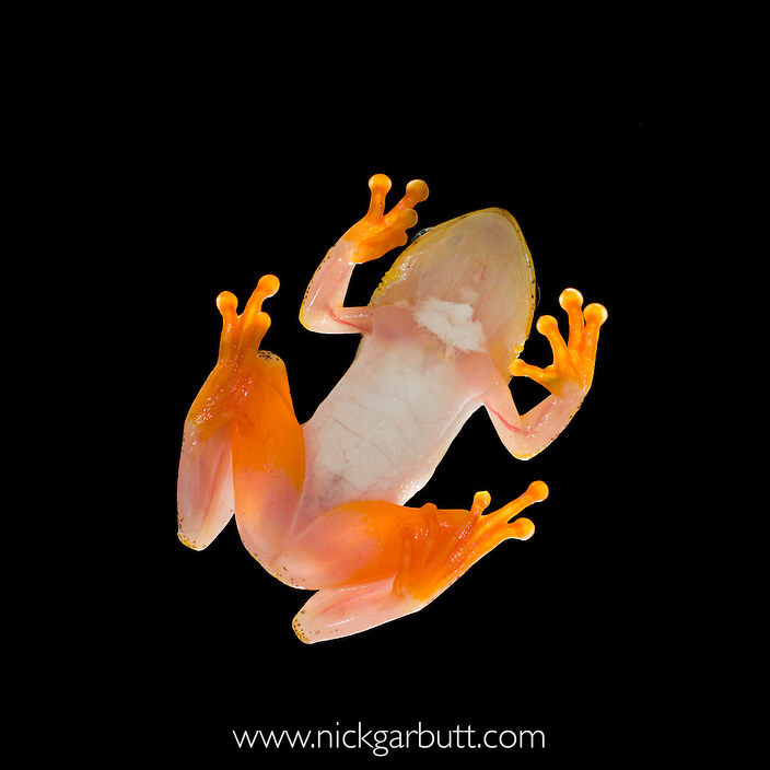 Madagascar Reed Frog (Heterixalus madagascariensis) viewed from beneath. Masoala National Park, Madagascar.