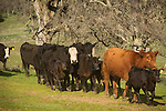 Cows and calves head back toward grazing after marking and branding, Dell'Orto pasture near Sunnybrook, Calif. spring cattle marking and branding
