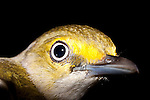 White-eyed Vireo Portrait