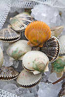 HOMOSASSA, FLORIDA, USA - AUGUST 3, 2007: Florida bay scallops harvested from the Gulf of Mexico sit on ice before being cleaned. Every summer thousands of people harvest the scallops while snorkeling in the shallow grass flats off Florida's Big Bend region. Photo by Matt May