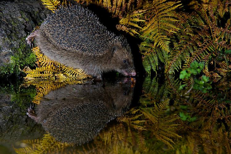 A wild European Hedgehog walking in a pool showing it's reflection. Near Corwen, north Wales