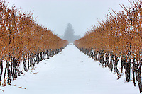 A view between the vines during a snowfall at a Niagara on the Lake vineyard