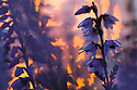 Ling Heather {Calluna vulgaris} at sunrise. Peak District National Park, Derbyshire, UK. August.