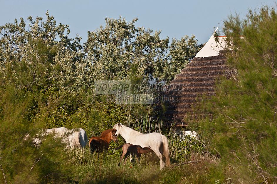Europe/France/13/Bouches du Rhone/Camargue/Parc Naturel Régionnal de Camargue/Environs des Saintes Maries de la Mer: Chevaux camargue et maison de Gardian