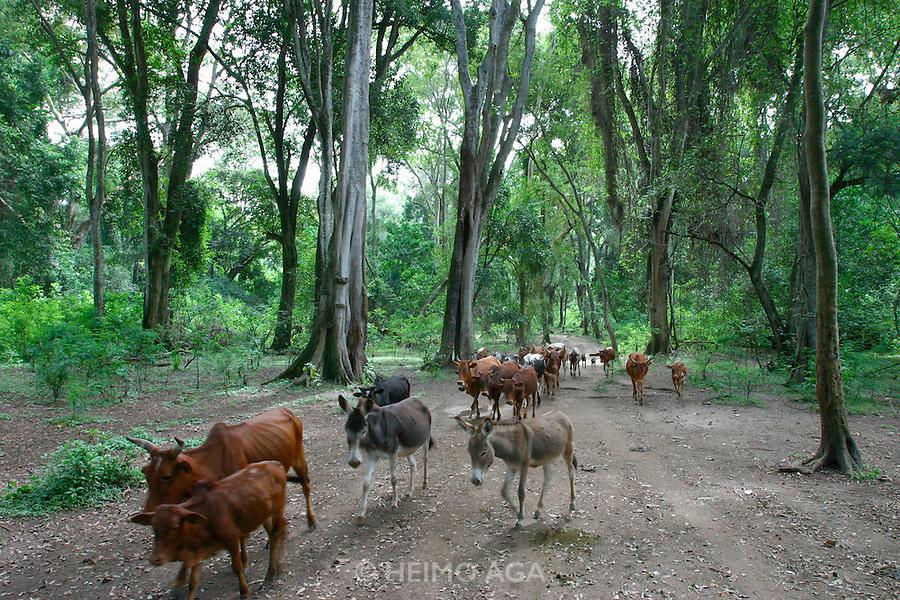 LAKE LANGANO, RIFT VALLEY, SHEWA/ETHIOPIA..Primary forest nature trail near Bishangari Lodge..Cow herds..(Photo by Heimo Aga)