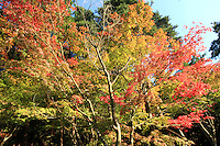 Red leaves adorn trees in autumn in Kyoto, Japan, on November 8, 2006. Kyoto is the former imperial capital of Japan, and today houses more than 1.5 million. Photo by Lucas Schifres/Pictobank