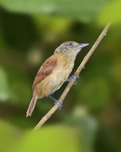 Barred Antshrike - Thamnophilus doliatus - female