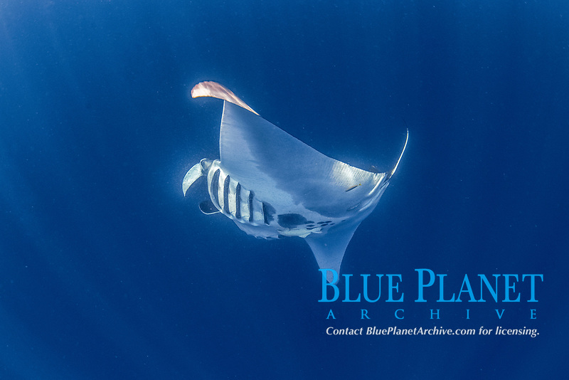 giant oceanic manta ray, Mobula birostris, formerly Manta birostris, feeding near the surface, Honda Bay, Palawan, Philippines, Sulu Sea, Pacific Ocean