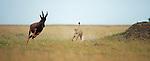Cheetah male (Acinonyx jubatus) chasing a Topi (Damaliscus lunatus jimela), Masai Mara, Kenya.