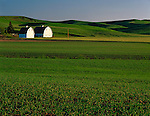Whitman County, WA<br /> Twin barns face the evening light tucked under the green rolling hills of the Palouse near Oaksdale, WA