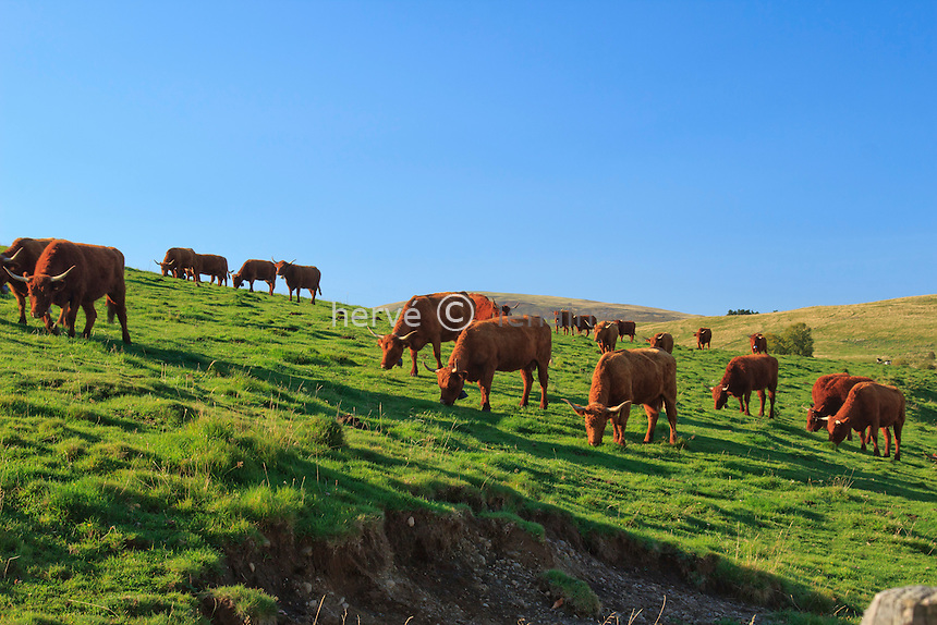 France, Cantal (15), Saint-Hippolyte, vaches de race Salers // France, Cantal, Parc Naturel Regional des Volcans d'Auvergne (Auvergne Volcanoes Natural Park), St Hippolyte, purebred cows Salers