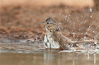 578820044 a wild lincoln's sparrow melospiza lincolnii bathes in a small waterhole on santa clara ranch hidalgo county rio grande valley texas united states