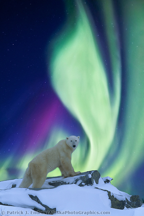 DIGITAL COMPOSITE: Aurora borealis swirls across the sky over a polar bear standing on a rock on the tundra. (composite of two images)